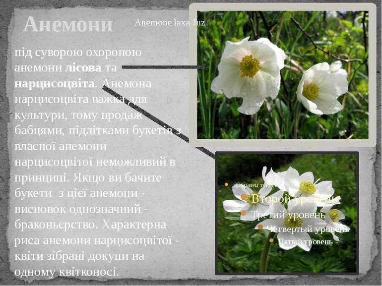 Анемони під суворою охороною анемони лісова та нарцисоцвіта. Анемона нарцисоц...