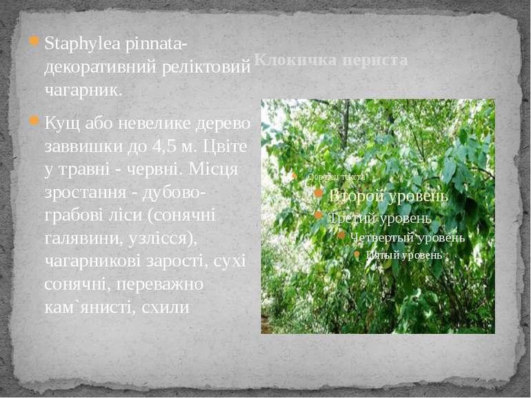 Клокичка периста Staphylea pinnata- декоративний реліктовий чагарник. Кущ або...
