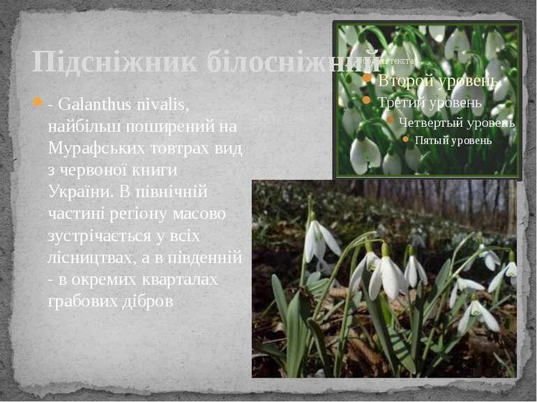 Підсніжник білосніжний - Galanthus nivalis, найбільш поширений на Мурафських ...