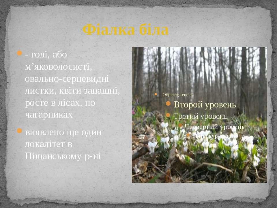 Фіалка біла - голі, або м'яковолосисті, овально-серцевидні листки, квіти запа...