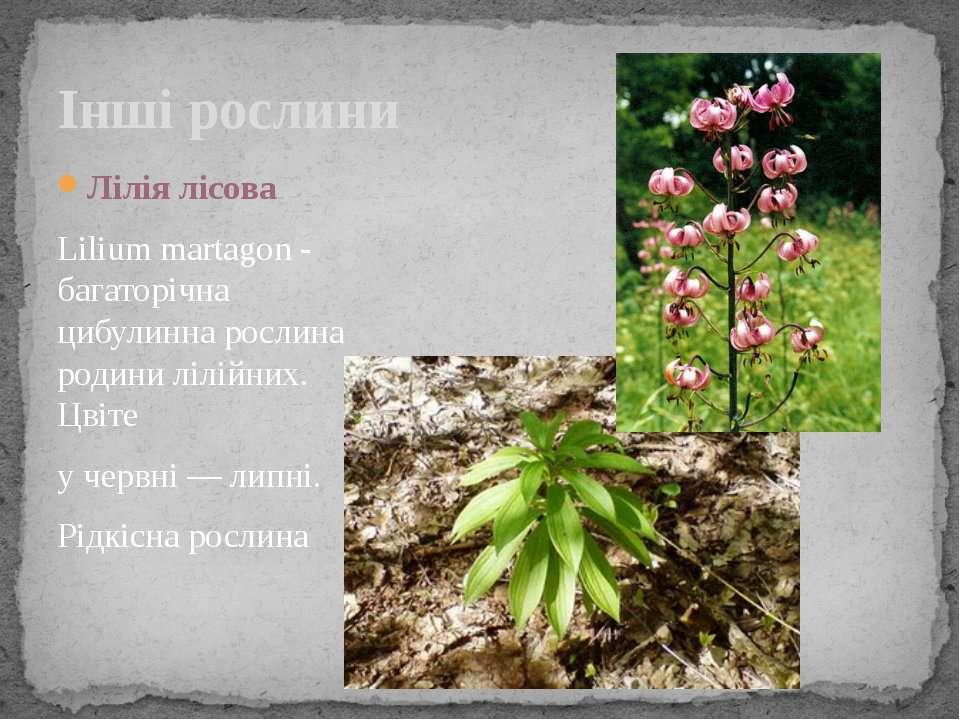 Інші рослини Лілія лісова Lilium martagon - багаторічна цибулинна рослина род...