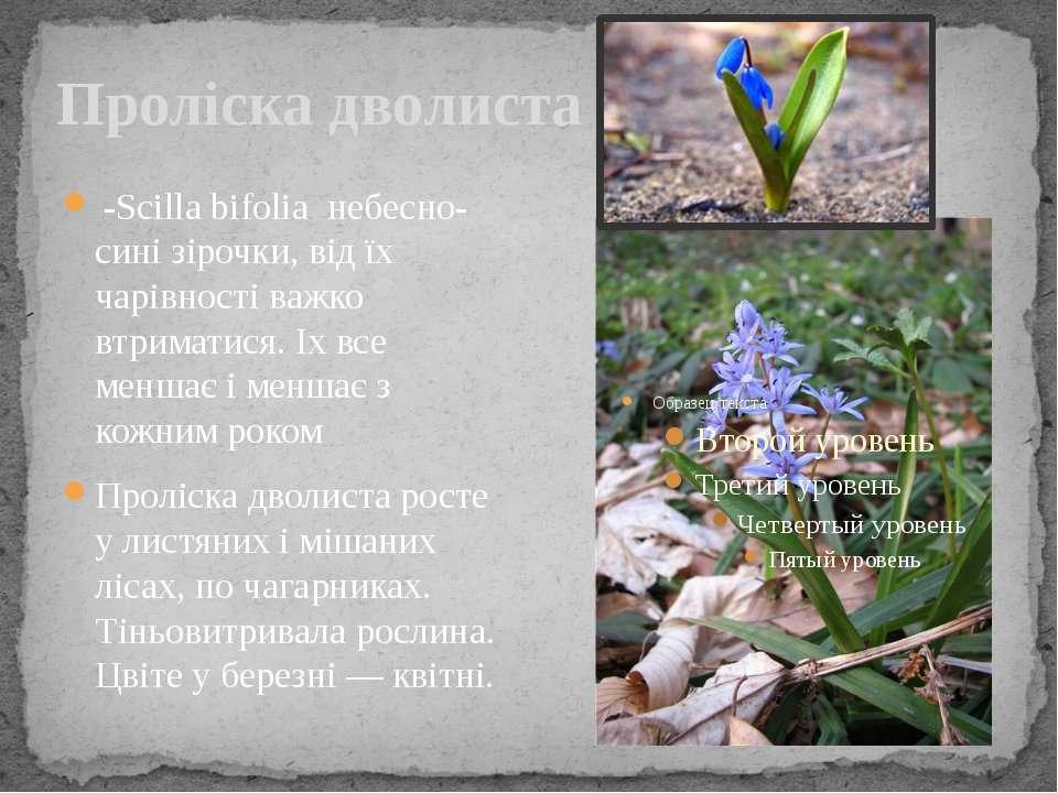 Проліска дволиста -Scilla bifolia небесно-сині зірочки, від їх чарівності важ...
