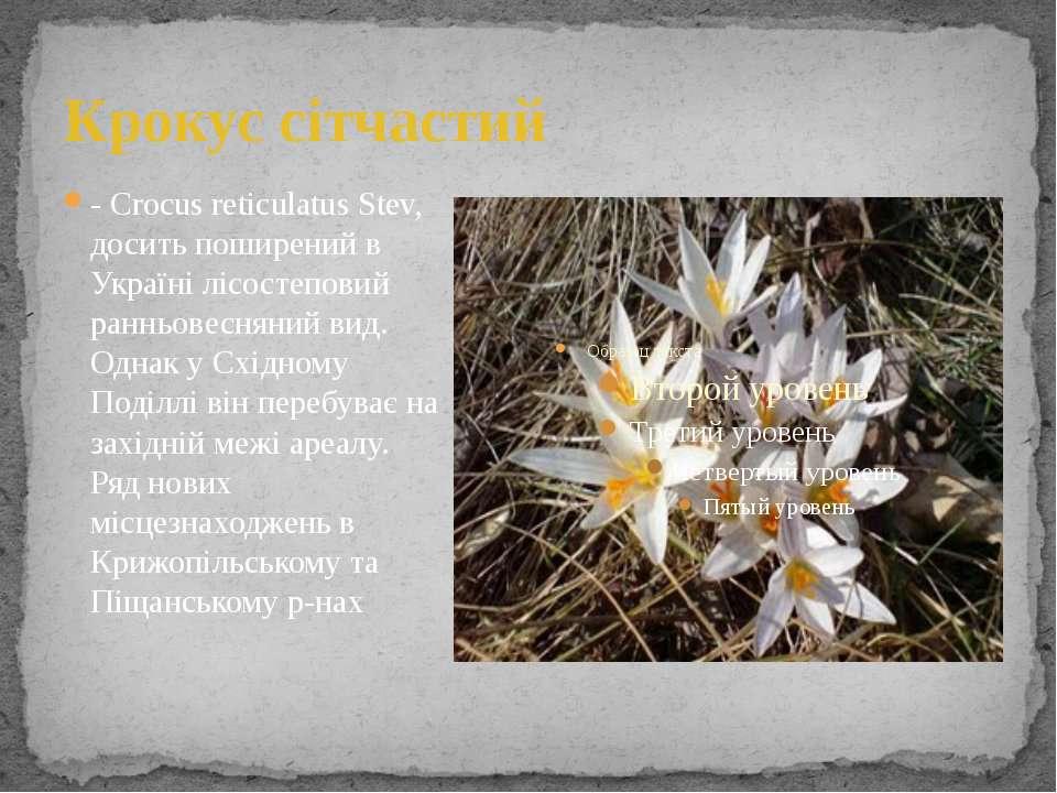 Крокус сітчастий - Crocus reticulatus Stev, досить поширений в Україні лісост...