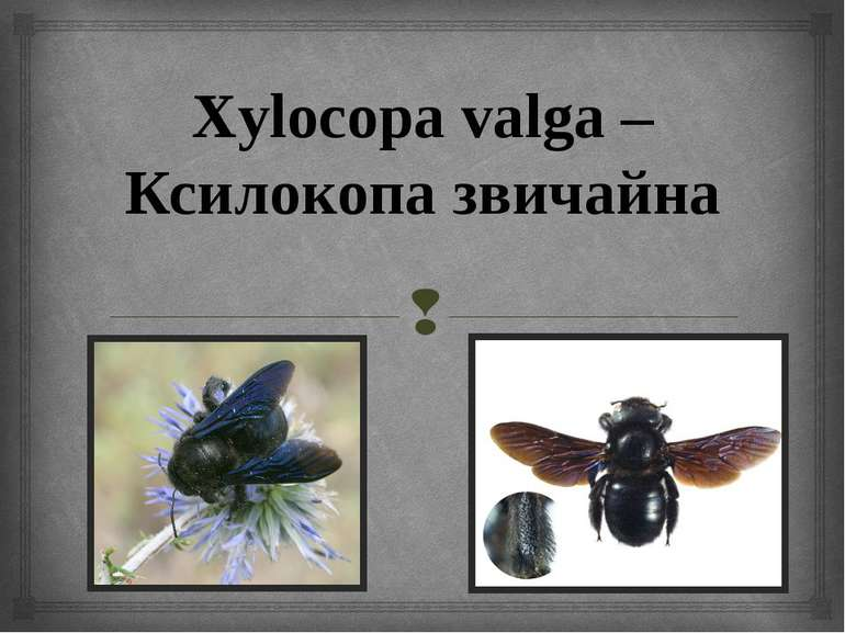 Xylocopa valga – Ксилокопа звичайна