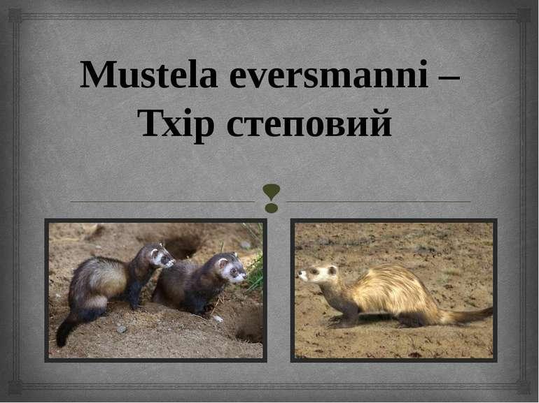 Mustela eversmanni – Тхір степовий