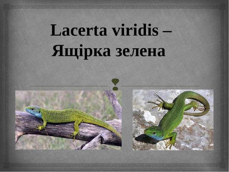 Lacerta viridis – Ящірка зелена