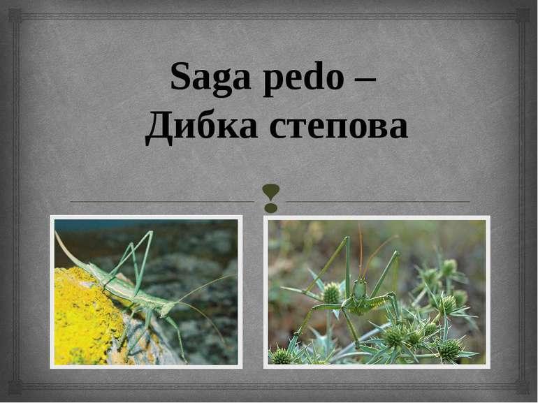 Saga pedo – Дибка степова