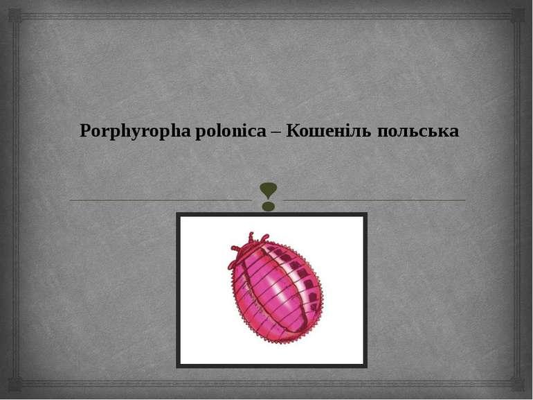 Porphyropha polonica – Кошеніль польська