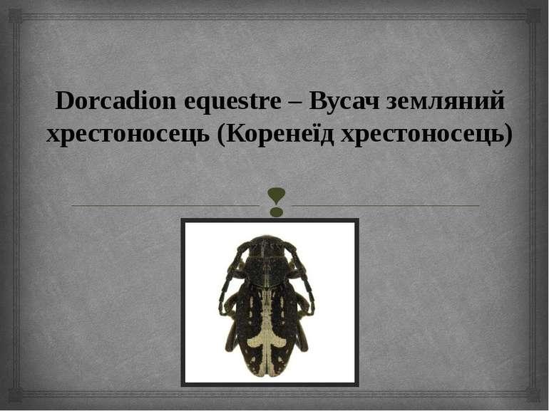 Dorcadion equestre – Вусач земляний хрестоносець (Коренеїд хрестоносець)