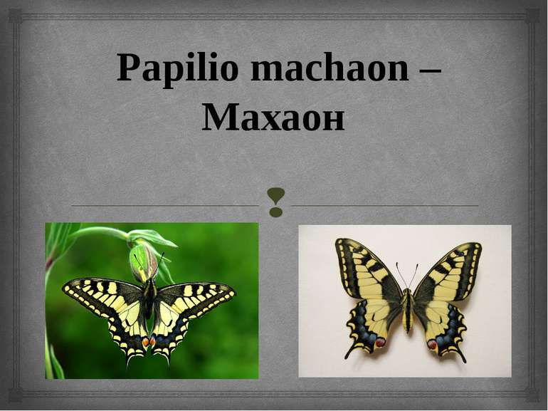 Papilio machaon – Махаон