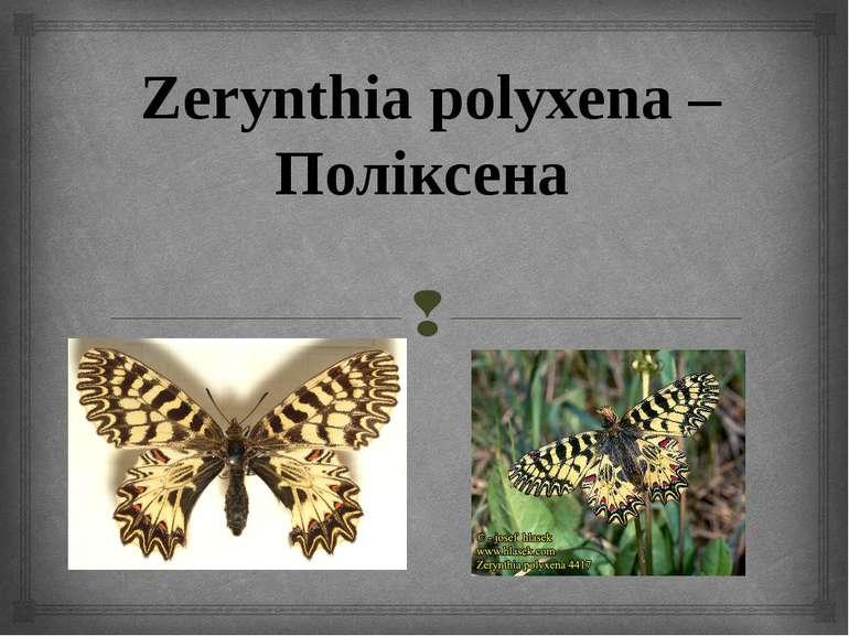 Zerynthia polyxena – Поліксена