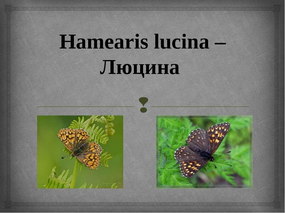 Hamearis lucina – Люцина