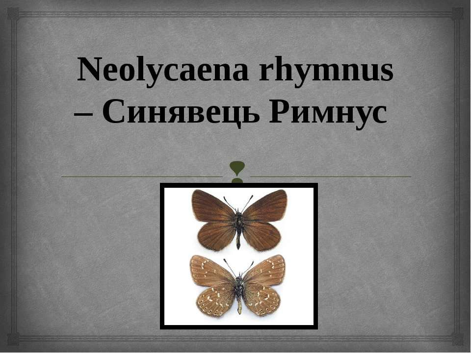 Neolycaena rhymnus – Синявець Римнус