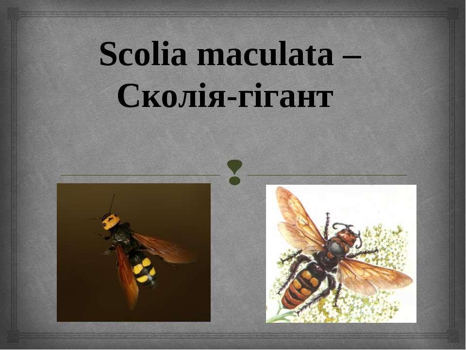 Scolia maculata – Сколія-гігант