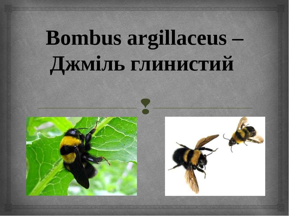 Bombus argillaceus – Джміль глинистий