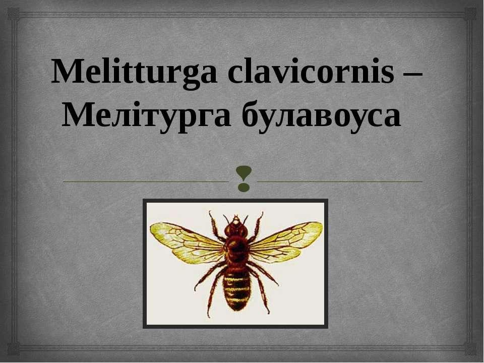 Melitturga clavicornis – Мелітурга булавоуса