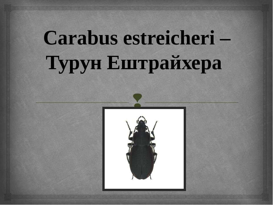 Carabus estreicheri – Турун Ештрайхера