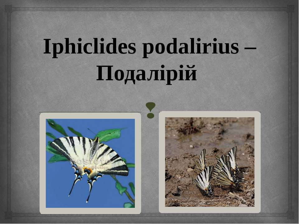 Iphiclides podalirius – Подалірій