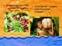 Шабельник болотний – кавказький ендемік Coco-de-mer – ендемік Сейшельських ос...