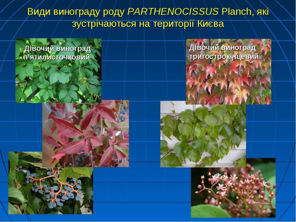 Види винограду роду PARTHENOCISSUS Planch, які зустрічаються на території Киє...