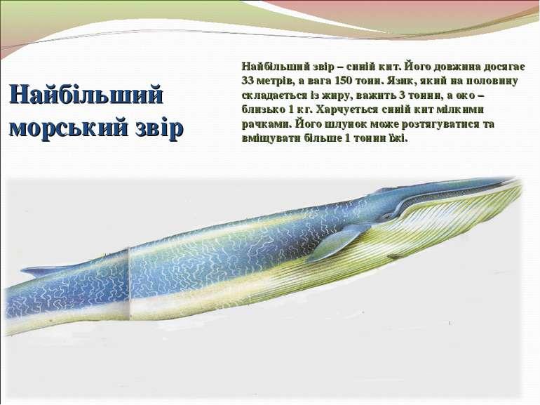 Найбільший морський звір Найбільший звір – синій кит. Його довжина досягає 33...