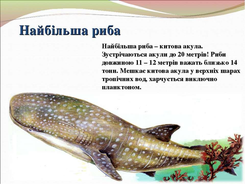 Найбільша риба Найбільша риба – китова акула. Зустрічаються акули до 20 метрі...
