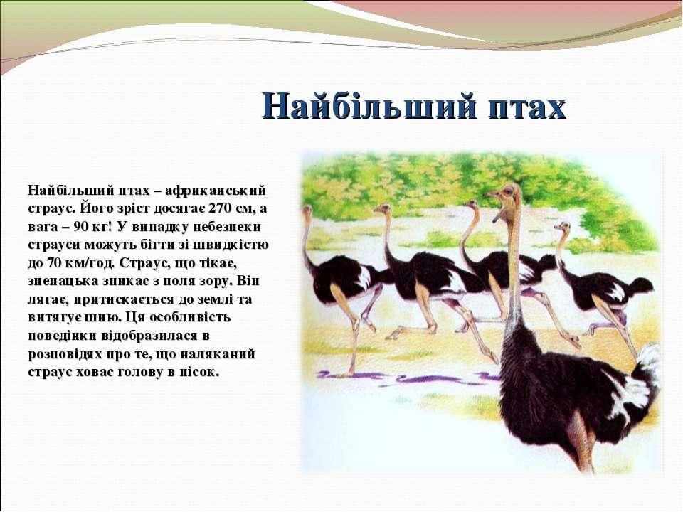 Найбільший птах Найбільший птах – африканський страус. Його зріст досягає 270...
