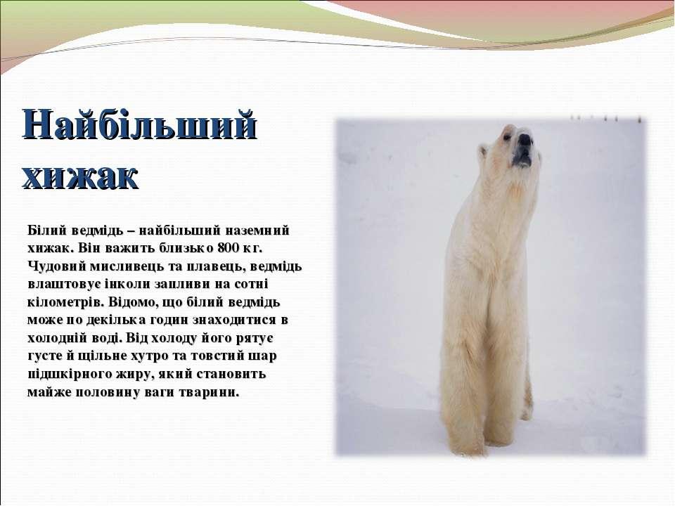 Найбільший хижак Білий ведмідь – найбільший наземний хижак. Він важить близьк...