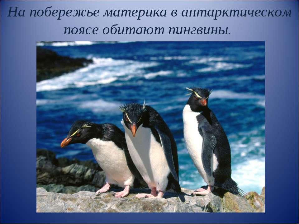 На побережье материка в антарктическом поясе обитают пингвины.