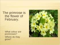 The primrose is the flower of February. What colour are promroses? Where do t...