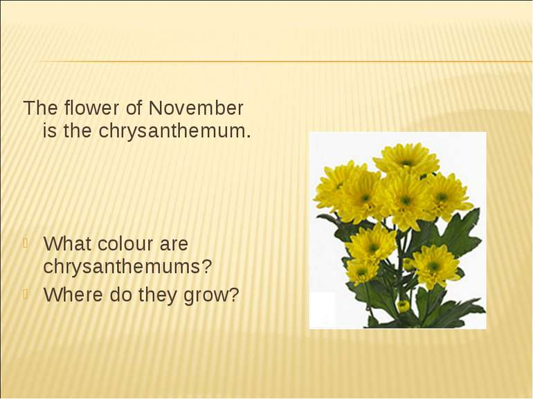 The flower of November is the chrysanthemum. What colour are chrysanthemums? ...