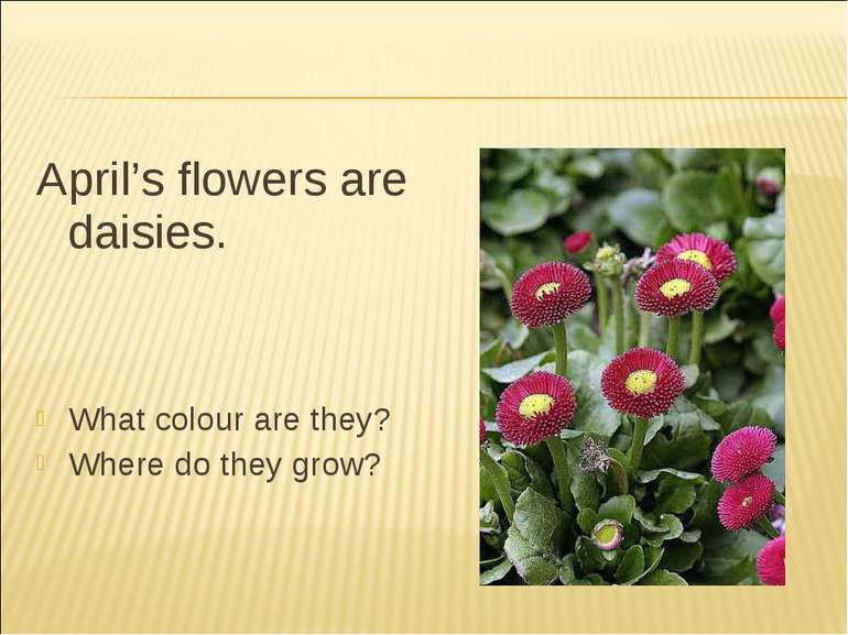 April's flowers are daisies. What colour are they? Where do they grow?