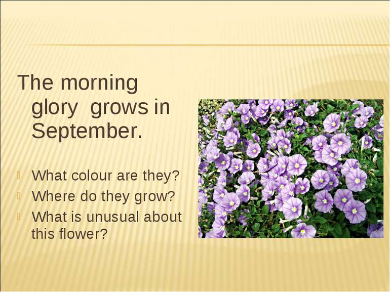 The morning glory grows in September. What colour are they? Where do they gro...
