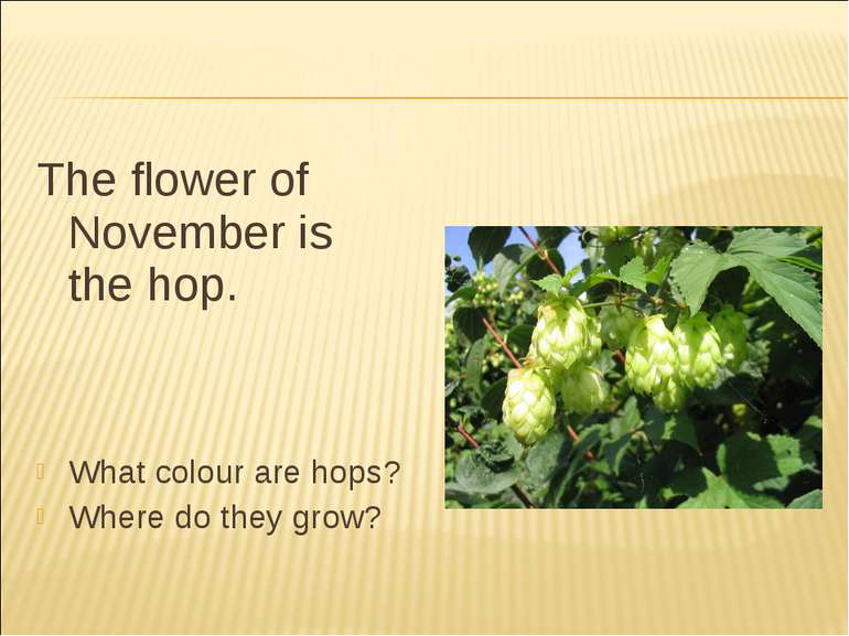 The flower of November is the hop. What colour are hops? Where do they grow?