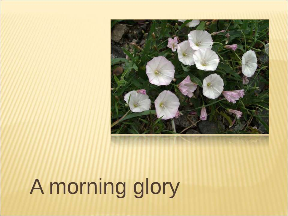 A morning glory