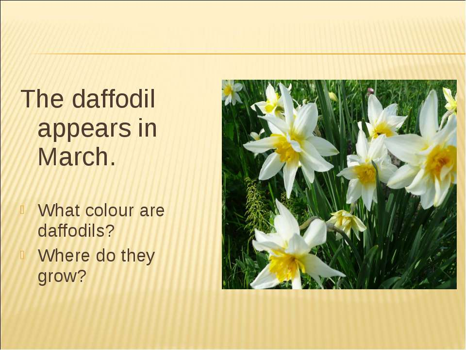 The daffodil appears in March. What colour are daffodils? Where do they grow?