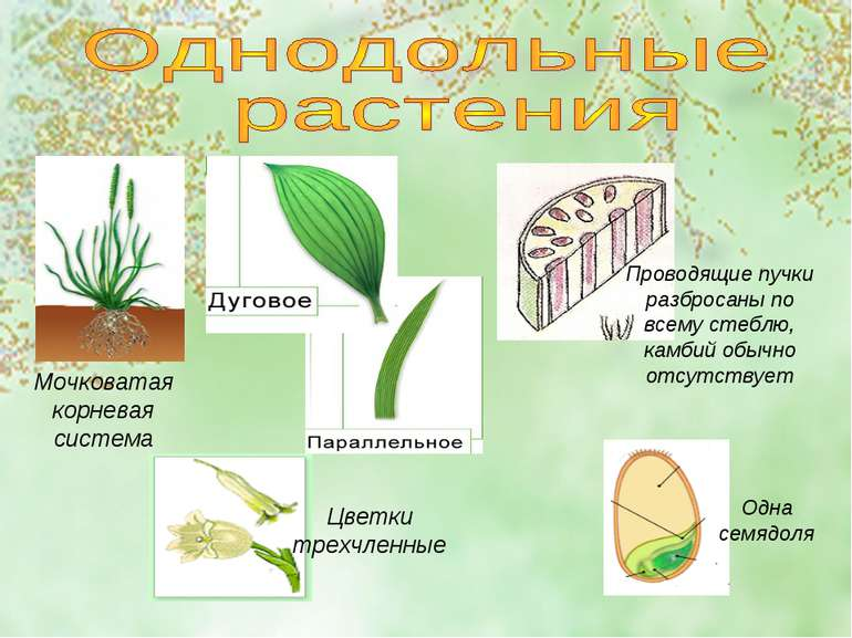 Одна семядоля Мочковатая корневая система Проводящие пучки разбросаны по всем...