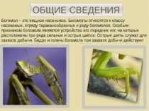ОБЩИЕ СВЕДЕНИЯ Богомол – это хищное насекомое. Богомолы относятся к классу на...
