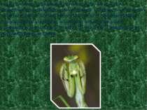 Когда богомол складывает ноги на груди, он похож на молитвенно сложившего рук...