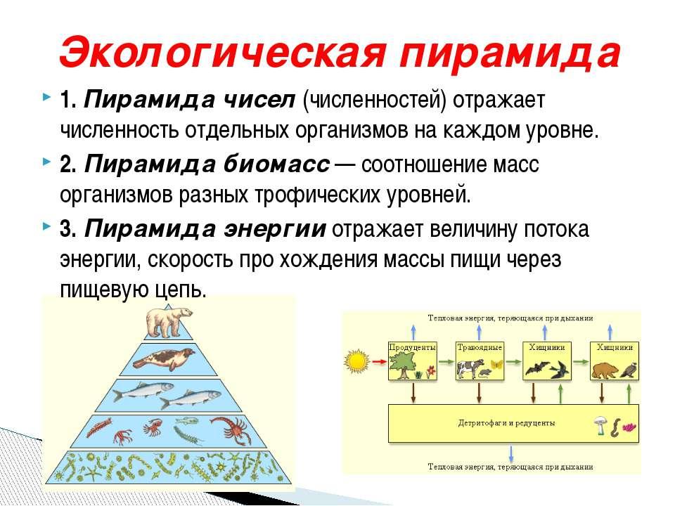 Экологическая пирамида 1. Пирамида чисел (численностей) отражает численность ...