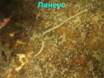 Линеус