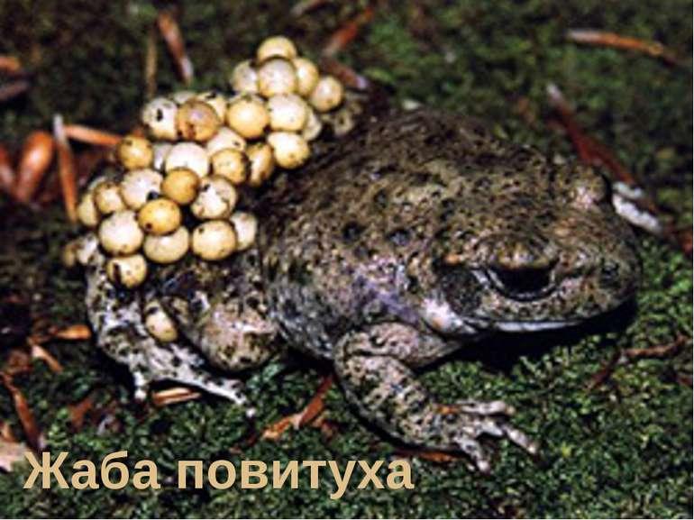 Жаба повитуха