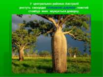 У центральних районах Австралії ростуть своєрідні пляшкові дерева, товстий ст...