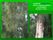 Ендемічні казуарини мають спадаючі донизу ниткоподібні безлисті гілки.
