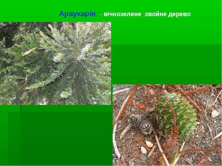 Араукарія - вічнозелене хвойне дерево