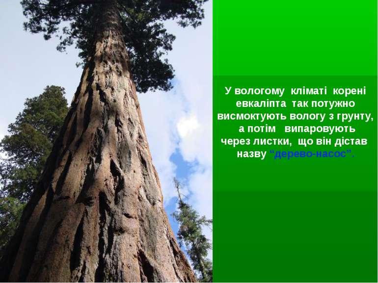 У вологому кліматі корені евкаліпта так потужно висмоктують вологу з грунту, ...