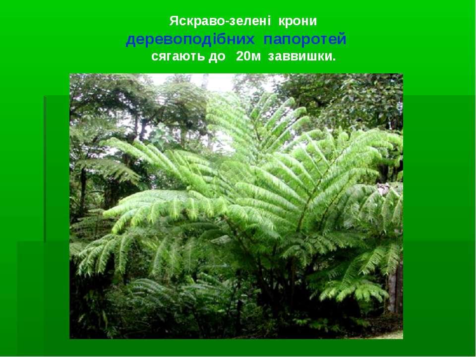 Яскраво-зелені крони деревоподібних папоротей сягають до 20м заввишки.