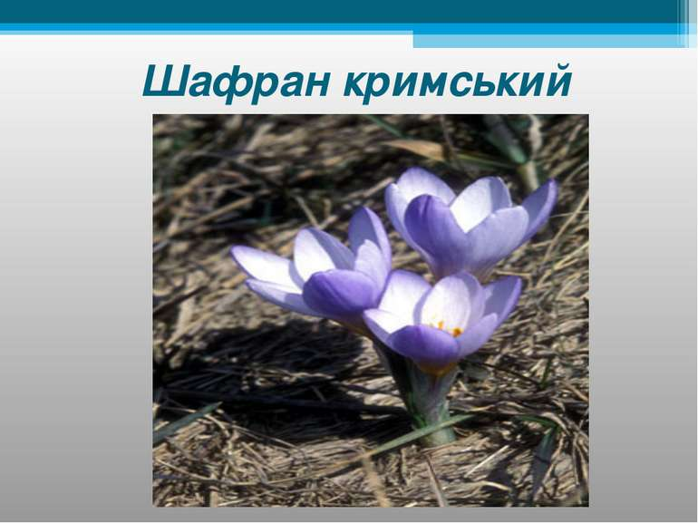 Шафран кримський