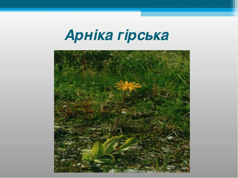 Арніка гірська
