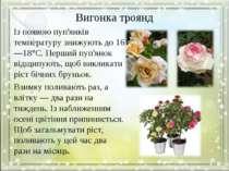 Вигонка троянд Із появою пуп'янків температуру знижують до 16—18°С. Перший пу...